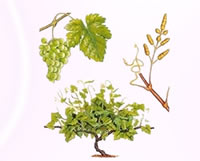 signe de la vigne astro druidique